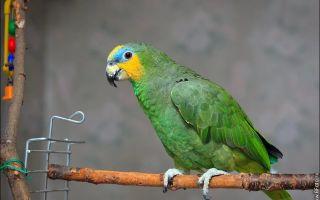 Аллергия на попугая